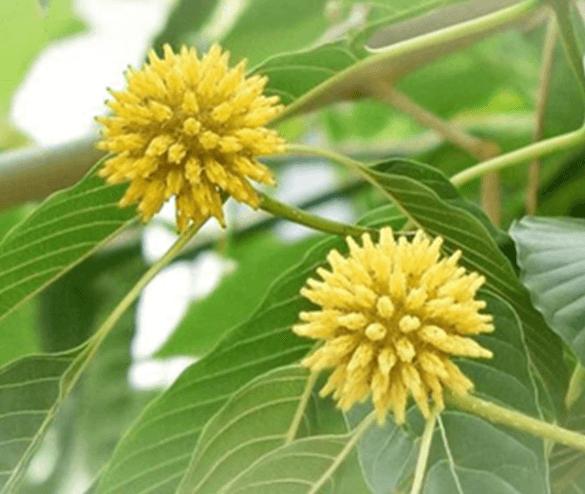 What is Kratom Tea?